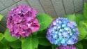 紫陽花二色の