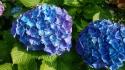 青紫陽花大輪