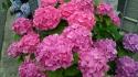 いっぱい紫陽花